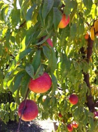 peaches-01